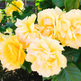 【ぽんこ写真館】「生田緑地ばら苑」に行ってきたよ。わたしは、黄色のバラみたいになりたい。