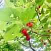 桜桃狩りと茶摘み(追記あり)