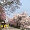 おばちゃん地方の桜 Version6