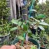 挿し木の挿し穂の大きさ