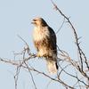 元荒川沿いで猛禽を探してみました。コチョウゲンボウ?