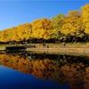 69.国営昭和記念公園 紅葉 (銀杏並木道、日本庭園)