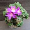 紅籠の花【アズテキウム】