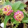 愛らしい花!ランタナの魅力と上手に育てるコツ。