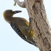 コスタリカ 街路樹の Hoffmann's Woodpecker (ホフマンズ ウッドペッカー)