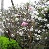 今日も歯医者さんに行ってきました。あと、うちの花桃も紹介します。