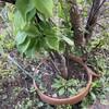梅の木、3本目