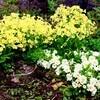 「カタクリ(片栗)」の花、寒風で開かず…。