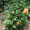 庭のバラ咲き始めた