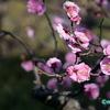 早咲きの梅 《白鳥庭園 #2》