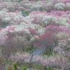 三重県いなべ市の「梅林公園」で絶景梅林を見てきた
