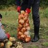 【収穫体験】子供と一緒に初めて玉ねぎ掘りしました