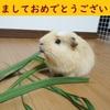 2018 モルモットきゅーじろう便り✉ ~今年もよろしキュー!~