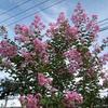庭のサルスベリ(百日紅)