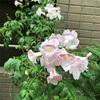 ピンクノウゼンカズラの花です。