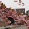 金沢の「河津桜」第2弾
