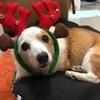 14歳愛犬のさくらの体重が激減、香港の動物病院へ