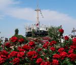山下公園のバラの花!横浜観光おすすめスポット!