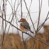 山形県東根市で、野鳥を撮影! その2