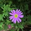 ブラキカムの花