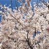 桜をついばむスズメに遭遇