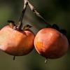 干し柿の甘さは砂糖を上回っていた!