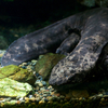 オオサンショウウオ Andrias japonicus