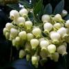 ヒメイチゴノキの花