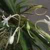 最初の花は雲龍瀧(うんりゅうのたき)