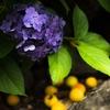 梅雨に紫陽花と梅の実コラボ画像