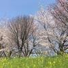 京都の隠れた桜名所と中村軒