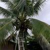 低木椰子の剪定と藻海老漁