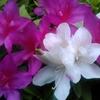 桜の花が散ればツツジの季節。