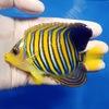 【現物14】インドニシキヤッコ 11cm±!海水魚 ヤッコ15時までのご注文で当日発送【ヤッコ】
