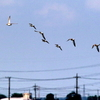 キョウジョシギ飛翔