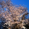 弘前公園、昨夜の桜