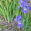 早朝見つけた紫の君「いずれショウブかカキツバタ」
