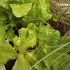 ベランダ菜園、野菜いろいろ