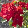 【一日一枚写真】赤薔薇 Part.7【一眼レフ】