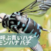 「幸せを呼ぶ青いハチ」は幸せをを呼ぶのか ルリモンハナバチを宮城で発見