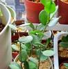 🌵多肉植物  まん丸葉っぱの緑の太鼓🥁他🌵
