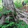 木の根の道を登る