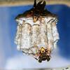 セグロアシナガバチの巣に変化あり
