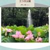大賀ハスが見ごろを迎えています。::春日井市三つ又ふれあい公園