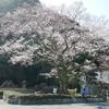 岐阜護國神社の『鵜飼桜』が早くも見頃に。