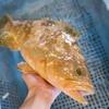2017年5月23日 小浜漁港 お魚情報
