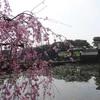 皇居周辺の桜の開花状況!お堀には桜が似合います!!