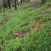 プラハの花11:ニラのような植物(cesnek podivny,チェスネック・ポジヴニー、少数花ネギ)[UA-125732310-1]