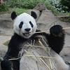 経済効果267億円!上野動物園のパンダ「シンシン」5年ぶりパンダ赤ちゃん出産!