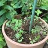 鉢土を入れ替えてから復活か ハナビシソウ( カリフォルニアポピー)